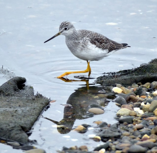 Greater Yellowlegs (GB)