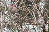 House Finches (m) (TC)