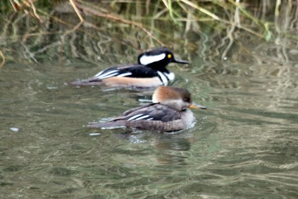 Hooded Merganser pair (TC)