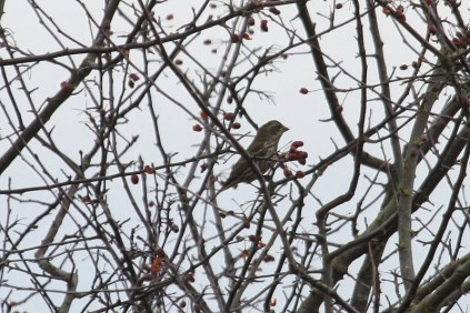 Purple Finch (TC)