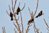 Redwinged Blackbirds (TC)