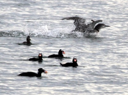 Surf Scoters (JM)