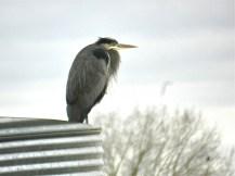Great Blue Heron (KB)
