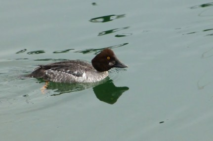Common Goldeneye (f) (MS)