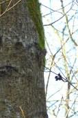 Brown Creeper (MS)