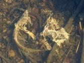 Fish skeleton (MS)