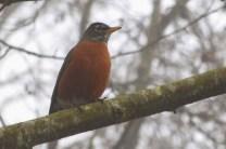 Robin (MS)
