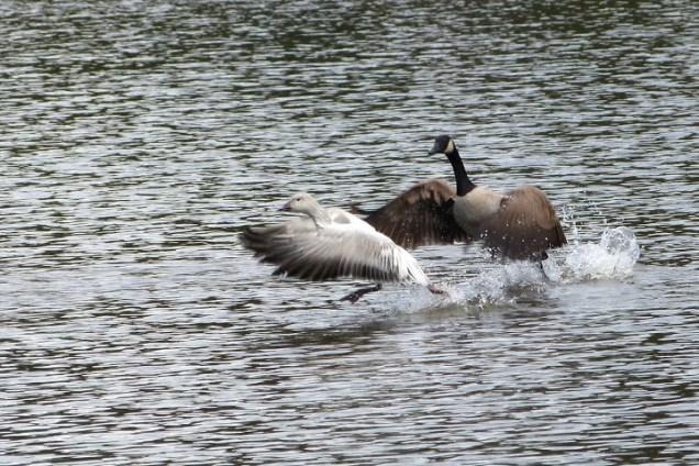 Canada Goose & Snow Goose (MS)