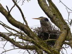 Great Blue Heron on nest (MS)