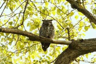Great-horned Owl (JK)