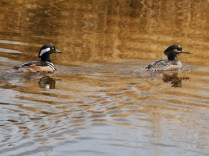 Hooded Merganser pair (JM)