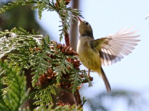 Ruby-crowned Kinglet (JM)