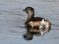 Pied-billed Grebe (JM)