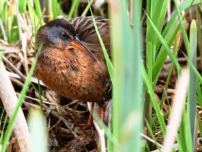 Virginia Rail (JM)