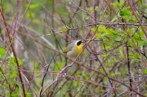 Common Yellowthroat (LS)