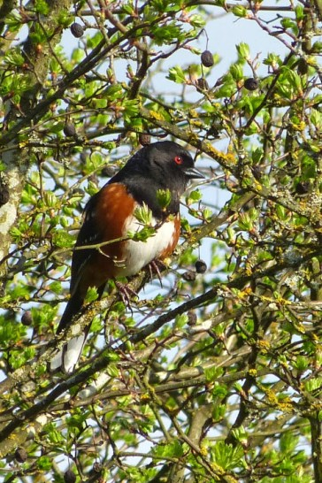 Spotted Towhee (MS)