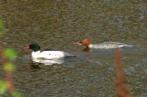 Common Merganser pair (MS)
