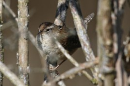 Marsh Wren (TC)
