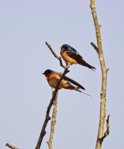 Barn Swallows (GB)