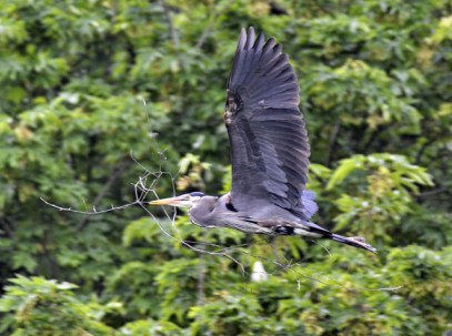 Great Blue Heron with nesting material (GB)