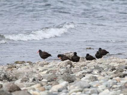 Black Oystercatchers (JM)