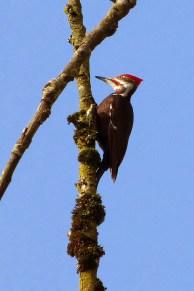 Pileated Woodpecker (MS)