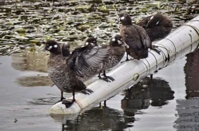 Harlequin Ducks (GB)