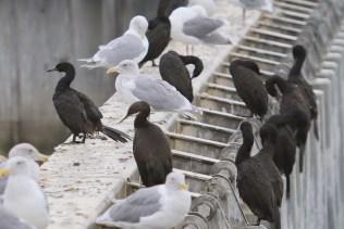 Pelagic Cormorants (TC)