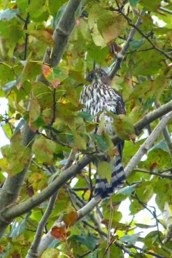Sharp-shinned Hawk (MS)