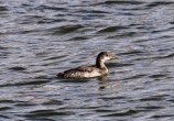 Red-necked Grebe (TC)