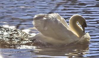 Mute Swan (GB)