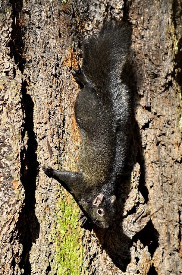 Grey squirrel (GB)