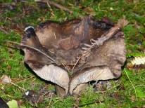 mushroom (MS)