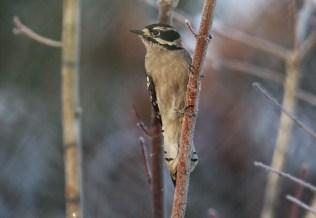 Downy Woodpecker (TC)