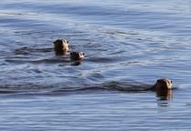 River otters (TC)