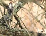 Downy Woodpecker (JK)