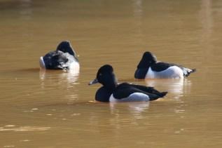 Ring-necked Ducks (TC)