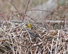 Western Meadowlark (TM)