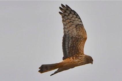 Northern Harrier (KB)