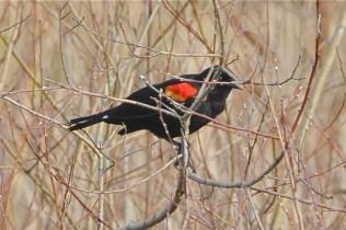 Red-winged Blackbird male (KB)