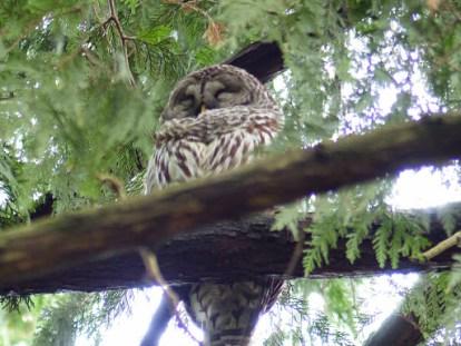 Barred Owl (LS)