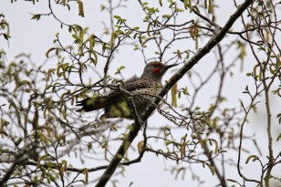 Northern Flicker (P&A)