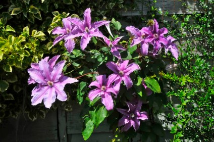 Clematis at Earthwise (KB)