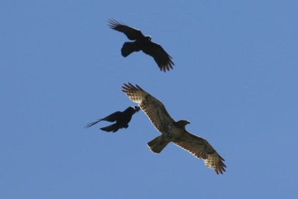 Crows harass Redtailed Hawk (TC)