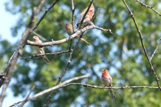 House Finches (MS)