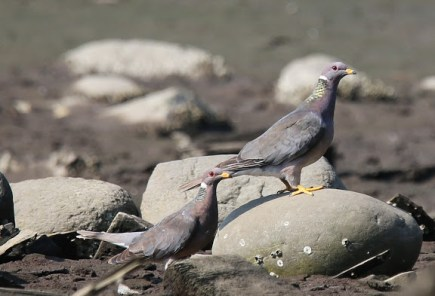 Band-tailed Pigeons (P&A)