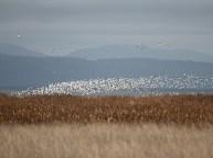 Snow Geese (JM)