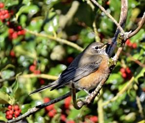 American Robin (GB)