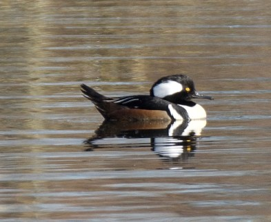 Hooded Merganser (BA)