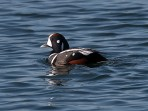 Harlequin Duck (P&A)